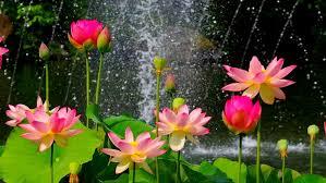flower wall paper download lotus flower wallpaper hd download of pink lotus flower 2560x1600