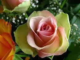 50+] Wallpaper Flowers Rose HD on ...