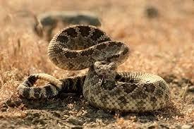 rattlesnake strike pose. Delighful Rattlesnake Rattlesnake Throughout Strike Pose
