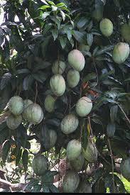 Jamaican Fruits  Mango  Jamaica  Pinterest  Exotic Food And Jamaican Fruit Trees