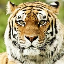 tiger face wallpaper on wallpapersafari