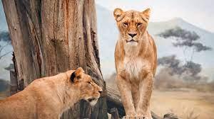 Lion Lioness Africa Wallpaper 4K #4.3331