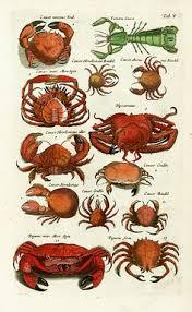 Crab Species Chart 132 Best Crabs Lobsters Images Crab Lobster Ocean