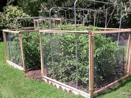 caged tomatoes