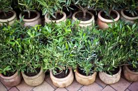 growing olive trees in containers or