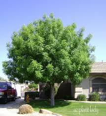 Best Trees To Plant In Front Yard 20 17 Best Images About Trees On  Pinterest ...