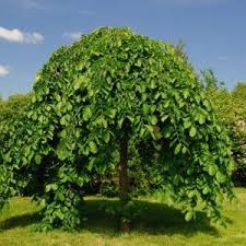 Weeping Mulberry Std Fruiting Morus Alba U0027Pendulau0027  Product Tags Teas Weeping Fruiting Mulberry Tree