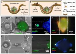 Networked neural spheroid by neuro-bundle mimicking nervous ...