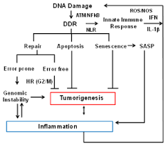 The Roles Of Homologous Recombination And The Immune System