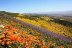 temblor range wildflowers rangeswildflowersmonumentsroadsvolcanosan luis obispocentral californiausaspanish colonial