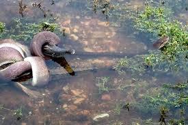snake battles and ultimately eats crocodile nbc news image snake battles and eats crocodile