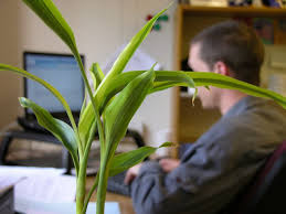 plants for office cubicle. A Man Works In Cubicle With Plant The Foreground. Plants Make Office For