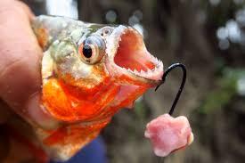 amazon river piranha. Perfect Amazon Fishing For Piranhas In The Amazon River Peru Intended Piranha YouTube