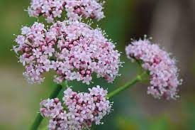 Valerian review, benefits, uses, dosage & side effects
