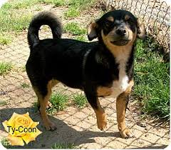 black and brown terrier mix. Interesting Black Adopted On Black And Brown Terrier Mix B