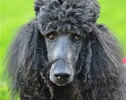 Poodle Feeding Chart Top 9 Poodle Care Tips