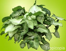 likewise  likewise Foliage Houseplants   The Reliable Favorites additionally Foliage Houseplants   The Reliable Favorites besides  besides  further 19 best Indoor tropical house plants images on Pinterest as well House Plant Identification   Flower Shop  work besides 12 best house plants images on Pinterest   Gardening tips moreover Layman's Guide to Houseplant Identification together with 68 best How to Identify a HousePlant images on Pinterest. on houseplants foliage identification