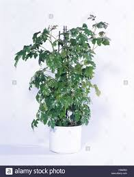 Great Climbing Plants  Indoor Garden Climbing Plants Gallery Climbing Plants Indoor