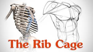The ribs are part of the axial skeleton and are classified as flat bones. Anatomy Of The Rib Cage For Artists Youtube