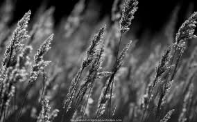 desktop background images black and white. Contemporary Desktop Black And White Desktop Background Of Sunlit Reeds In Winter In Desktop Background Images And White