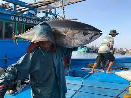 Image result for ảnh khai thác cá ngừ dai dương