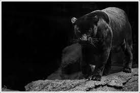 Black Jaguar Wallpaper