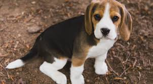 beagle puppies. Simple Beagle With Beagle Puppies