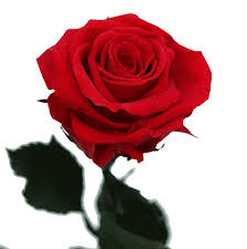 red rose beautiful
