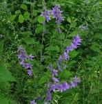 Images & Illustrations of creeping bellflower