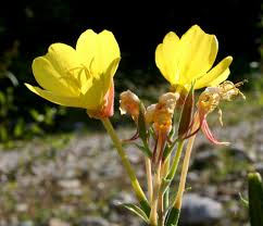 Oenothera biennis - Wikipedia