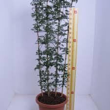 How To Grow Clematis  Van MeuwenWall Climbing Plants In Pots