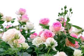 Small Picture Designing a Rose Garden How to create a Rose splendor at home
