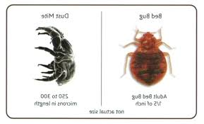 Bed bug sizes Stages Actual Size Of Bed Bugs Dust Mites Vs Bed Bugs Photo Of Bed Bug Actual Catseye Pest Control Actual Size Of Bed Bugs Thefitzgeraldinfo