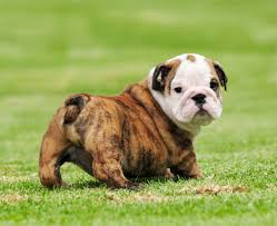 cute english bulldog puppy.  Puppy 25 Beautiful Bulldog Puppies That Will Melt Your Heart  Inside Dogs World With Cute English Puppy A