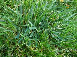 Help Me Identify This Grass Lawnsite