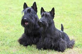 scottish terrier puppies. Interesting Terrier Two Scottish Terriers Sitting On Grass Side By Facing Forward For Terrier Puppies E