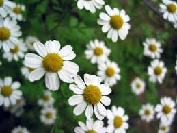 Image result for chamomile plant