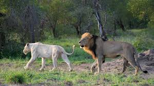 white lioness.  White White Lioness Mating With Trilogy Male Lion And