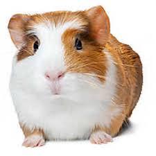 petsmart hamsters black and white. Guinea Pig On Petsmart Hamsters Black And White