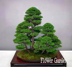 office bonsai tree.  Office BestSelling50 PiecesPack Juniper Bonsai Tree Potted Flowers Office  Purify For Office Bonsai Tree A