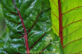 garden greens. Green Winter: Southern California\u0027s Winter Is Prime Time To Grow Greens. The Most Nutritious Greens Like Kale, Chard And Collards Do Very Well, Garden