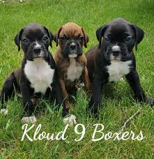 awarded to top quality dog and puppies for sites