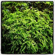 Growing And Transplanting Moss Plants \u2013 How To Propagate Moss