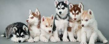 siberian husky puppies featured image