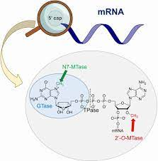 Enzymatic Assays to Explore Viral mRNA Capping Machinery - Kasprzyk - -  ChemBioChem - Wiley Online Library