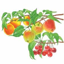 Cherry Tree Harvest Season  Harvesting Rainier Cherries Fruits Cherry Fruit Tree Care