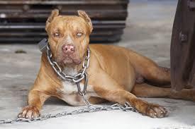 pitbull dog attacks man. Fine Man Pitbull  Dog Fighting To Attacks Man A