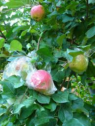 green apple fruit tree. three apples in plastic bags on a branch green apple fruit tree