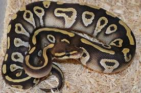 Ball Python Morph Chart 30 Beautiful Ball Python Morphs Colors With Pictures