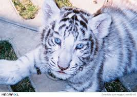 baby white tigers with blue eyes. Baby White Tiger In Blue Eyes Throughout Tigers With